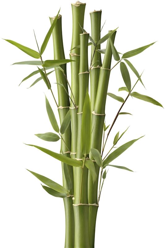 bambukas.jpg